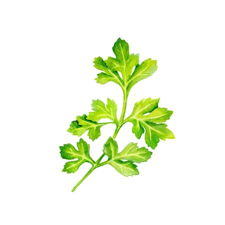 Watercolor image of leaves of parsley on white background. hand drawn illustration