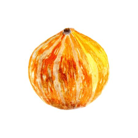 Pumpkin by a watercolour. hand painted pumpkin isolated on white