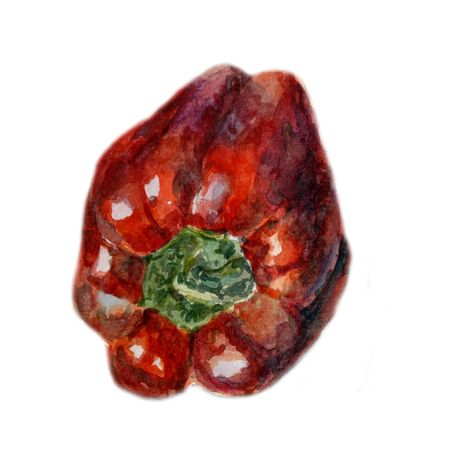 Red bell pepper. Hand drawn watercolor painting on white background, Organic food illustration.