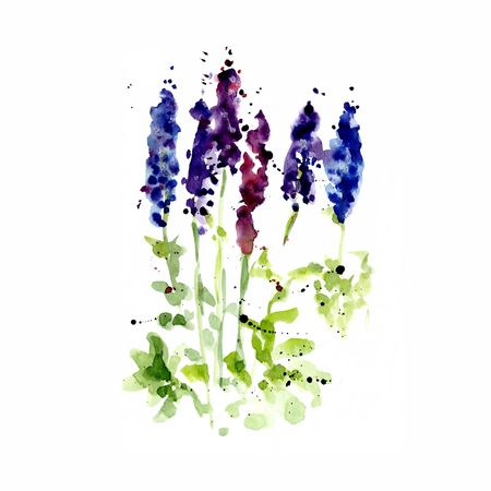 Watercolor illustration of wildflowers, painting lupines on a white and colored background 版權商用圖片