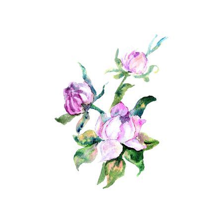 Hand drawn watercolor illustration of beautiful Pink Peony