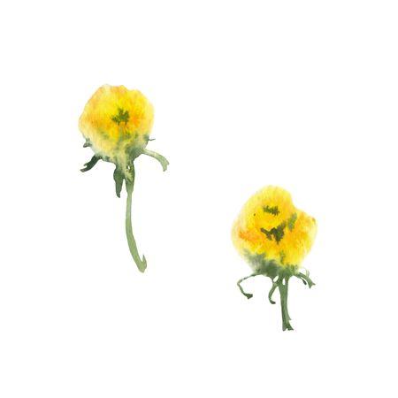 Dandelion. Watercolor hand drawn sketch. Botanical illustration 版權商用圖片