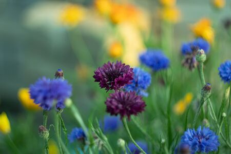 Beautiful purple and blue flowers cornflowers close up in the field against the background of other grasses. Reklamní fotografie