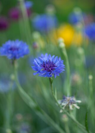 Beautiful blue cornflower flower close up one in a field against the background of other grasses.