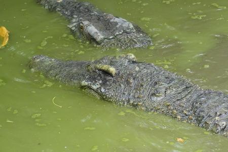 wild natural crocodile