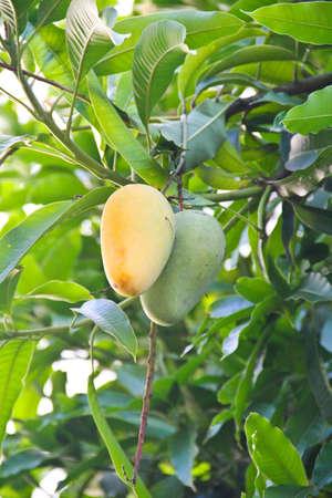 Green and yellow mango on tree  photo