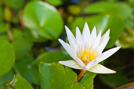 Close up white lotus on top Stock Photo - 16013619