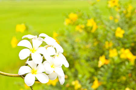 Close up White flower on yellow flower background  photo