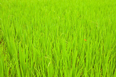 rice farm in nuture photo