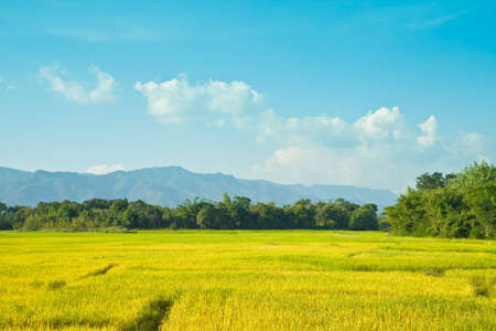 india food:  rice filed with blue sky