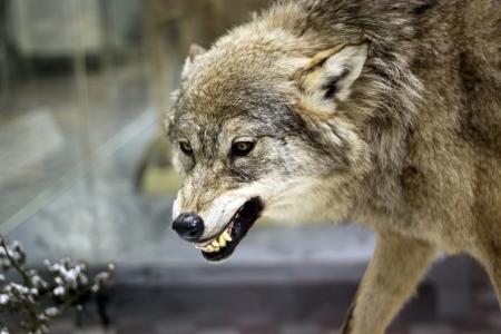 冬の森で怒っている灰色オオカミ。非常に危険な動物