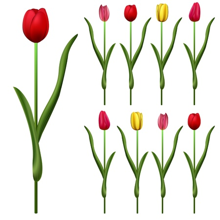 tulips isolated on white background: Vector of some tulips with different colors Illustration
