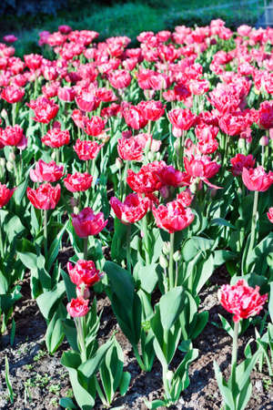 Field with red tulips Stock Photo - 13798734