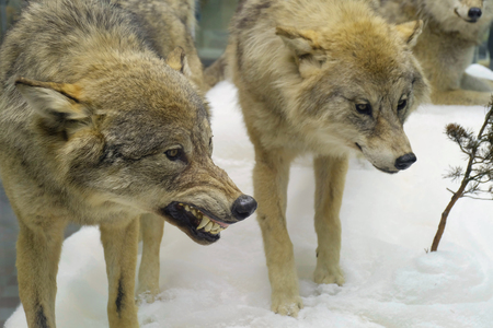 Photo of angry grey wolves in the winter forest