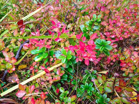 Bushes of blueberry and cranberry, golden autumn Zdjęcie Seryjne