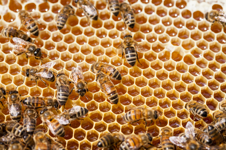 gold capped: Busy bees producing honey Stock Photo