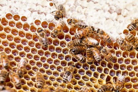 gold capped: Working honey bees on honeycomb
