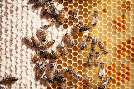 miel de abeja: Cierre de vista de las abejas que trabajan en el panal