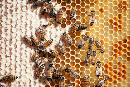 bee pollen: Close up view of the working bees on honeycomb