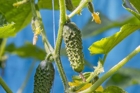 cuke: Growing cucumber in the garden