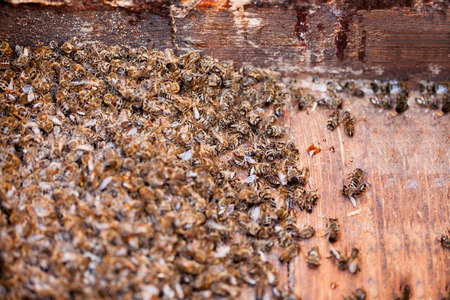 poisoned: Thousands dead honey bees  poisoned by pesticides and GMOs