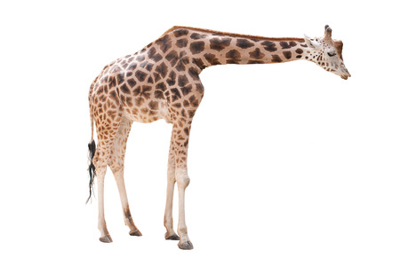 camelopardalis: Giraffe isolated on white background  Giraffa camelopardalis