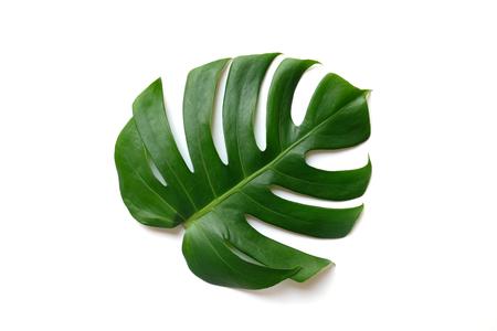 monstera leaf on white background Standard-Bild