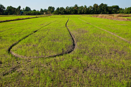 Thai field rice