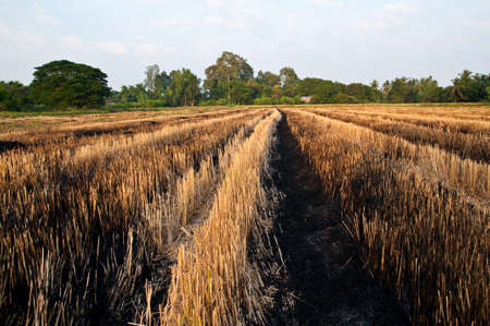 Burn rice field after harvest