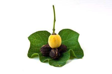 jatropha on leaf Stock Photo