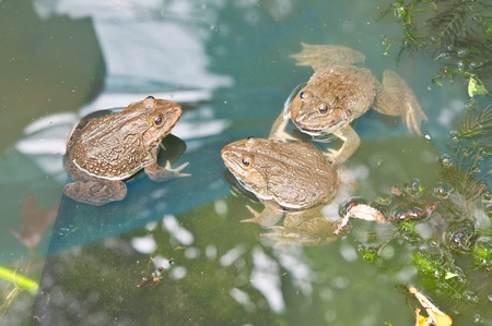three frog in water