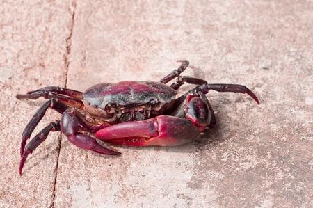Freshwater crabs