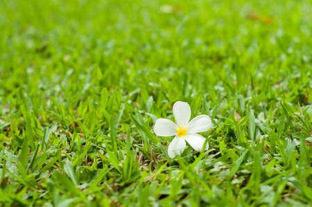white plumeria on the grass