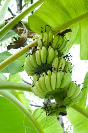 bunch of variegated banana  Stock Photo