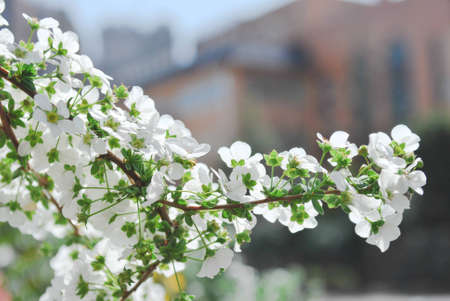 small white cherry blossom flower in the town
