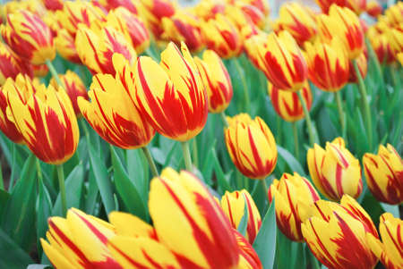 yellow and red variegated tulip flower field