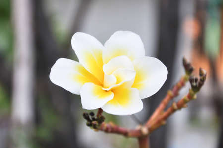 ten petal plumeria name bali-whirl Stock Photo