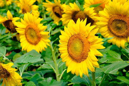 bright sunflower in the field