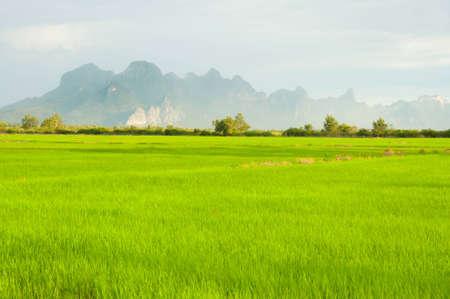 rice farm with mountain behide Stock Photo