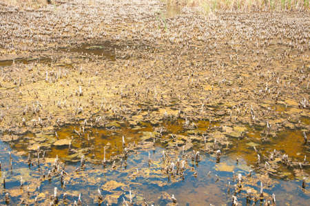 dying lotus and algae in the swamp land  Stock Photo