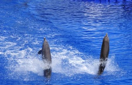 grampus: Dolphins Stock Photo
