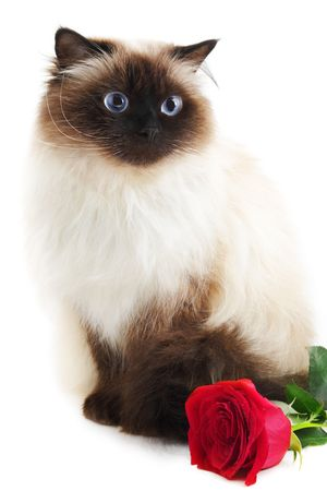 himalayan cat: Cat with rose isolated on white