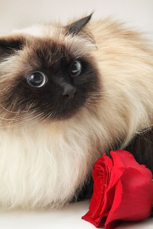 himalayan cat: Cat with rose