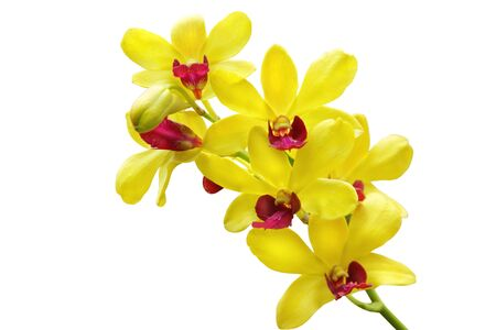 Yellow orchid isolated on white background photo