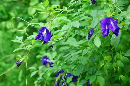 pea shrub: Butterfly pea flower