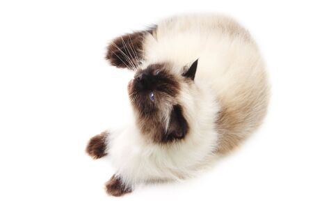 himalayan cat: Cat isolated on  white