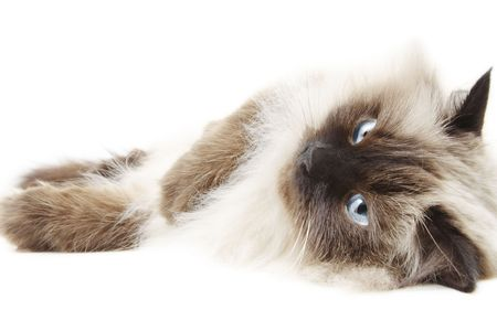 himalayan cat: Cat isolated on white Stock Photo