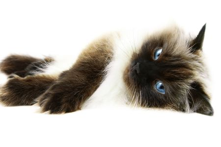 himalayan cat: Cat isolated on  white background.