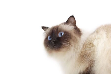 himalayan cat: Cat isolated on a white