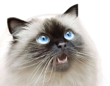 mewing: Cat isolated Stock Photo